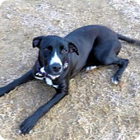 Adopt A Pet :: SPRINGSTEEN - Franklin, TN