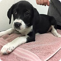 Labrador Retriever Mix Puppy for adoption in Woodstock, Illinois - Fan