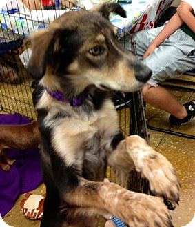 Sheltie, Shetland Sheepdog Mix Puppy for adoption in Silsbee, Texas - Ruby