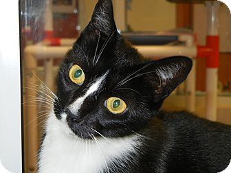 Domestic Shorthair Cat for adoption in Miami, Florida - Midnight
