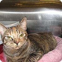 Bengal Cat for adoption in Cerritos, California - Sienna