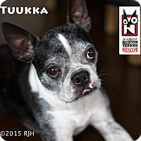 Boston Terrier Mix Dog for adoption in Courtland, Alabama - Tuukka