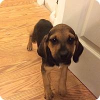 Adopt A Pet :: Carley - Dumfries, VA