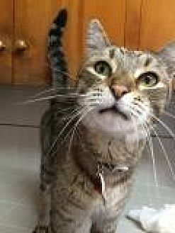 Domestic Shorthair Cat for adoption in Mission Viejo, California - Guedo
