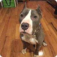 Adopt A Pet :: Kimbo (foster care) - Philadelphia, PA