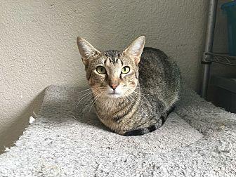 Siamese Cat for adoption in Everman, Texas - Alex