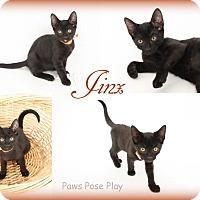 Domestic Shorthair Kitten for adoption in Stafford, Virginia - Jinx