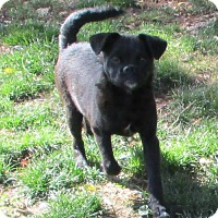 Pug Mix Dog for adoption in Peralta, New Mexico - **PETUNIA