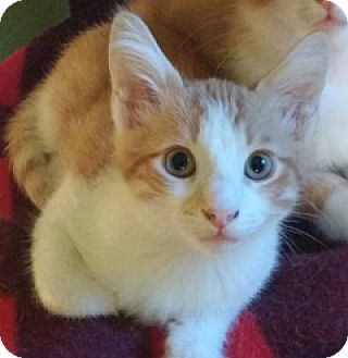 American Shorthair Kitten for adoption in Atlanta, Georgia - Jordy