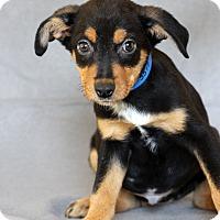 Adopt A Pet :: Bruce - Waldorf, MD