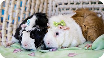 Guinea Pig for adoption in Montclair, California - Mario & Luigi