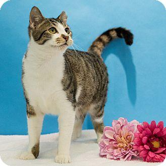 Domestic Shorthair Cat for adoption in Houston, Texas - Fernet