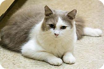 Maine Coon Cat for adoption in Herndon, Virginia - Mocha (& Junior)