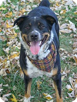 Rottweiler/Husky Mix Dog for adoption in Springfield, Missouri - Saber Dawn