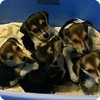 Beagle Mix Puppy for adoption in Chantilly, Virginia - Beagle Pup 1
