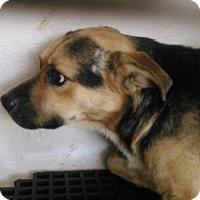 German Shepherd Dog Dog for adoption in San Antonio, Texas - A409147