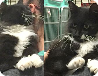 Domestic Longhair Cat for adoption in Cliffside Park, New Jersey - KAREN
