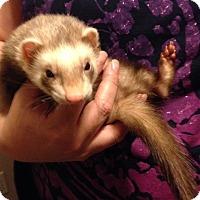Adopt A Pet :: Timone - Navarre, FL