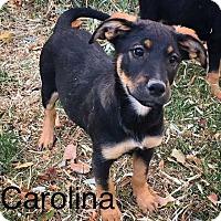Adopt A Pet :: Carolina - Albuquerque, NM