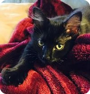 Maine Coon Kitten for adoption in Franklin, West Virginia - Bitty