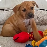 Adopt A Pet :: Jay Pei - Las Vegas, NV