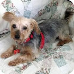 Yorkie, Yorkshire Terrier Dog for adoption in Hardy, Virginia - Lexie