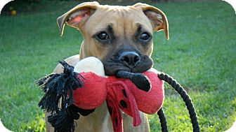Boxer Mix Dog for adoption in Torrance, California - Zoe