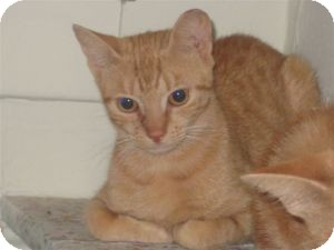 Domestic Shorthair Kitten for adoption in bloomfield, New Jersey - Primrose