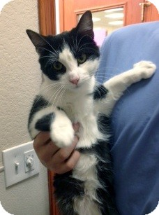 Domestic Shorthair Cat for adoption in Denton, Texas - Tom