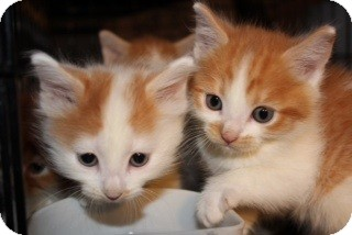 Maine Coon Kitten for adoption in Santa Monica, California - Scarlett