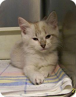 Siamese Kitten for adoption in Dover, Ohio - Darcie