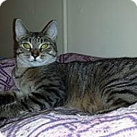 Domestic Shorthair Cat for adoption in Bedford, Virginia - Amber