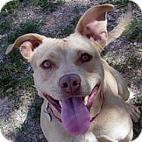 Labrador Retriever Mix Dog for adoption in Phoenix, Arizona - Autumn
