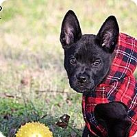 Adopt A Pet :: Taz - Albany, NY