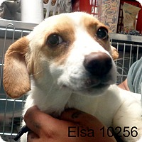Adopt A Pet :: Elsa - baltimore, MD