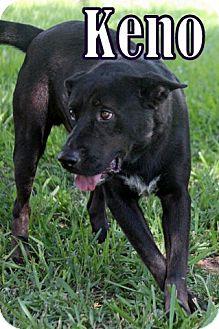 Labrador Retriever Mix Dog for adoption in Humble, Texas - KENO