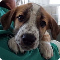 Adopt A Pet :: Charlie Brown - Grants Pass, OR