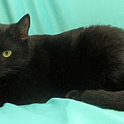 Photo 4 - Domestic Shorthair Cat for adoption in St Louis, Missouri - Ms. Louie