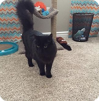 Domestic Longhair Cat for adoption in Long Beach, California - Becky