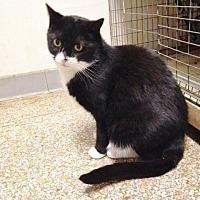 Domestic Shorthair Cat for adoption in Chicago, Illinois - Evangeline