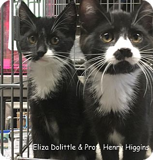 Domestic Shorthair Kitten for adoption in Cliffside Park, New Jersey - ELIJAH DOLITTLE