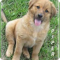 Adopt A Pet :: Piper - Marlborough, MA