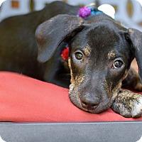 Adopt A Pet :: AJ - Baton Rouge, LA