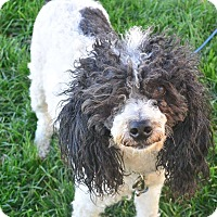 Adopt A Pet :: Boss - Meridian, ID