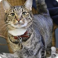 Domestic Shorthair Cat for adoption in Bradenton, Florida - Newt