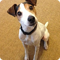 Jack Russell Terrier Dog for adoption in Omaha, Nebraska - Digby