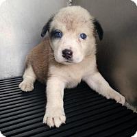 Adopt A Pet :: BERNICE - San Antonio, TX