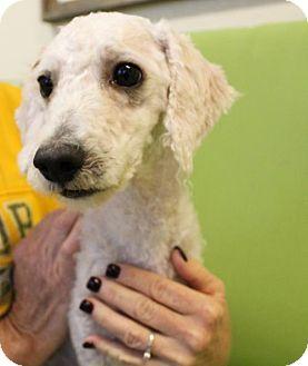 Poodle (Miniature) Mix Dog for adoption in Waco, Texas - Gizmo