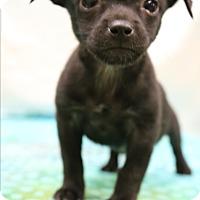 Adopt A Pet :: Onyx - Bedminster, NJ