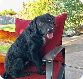 Labrador Retriever/Collie Mix Dog for adoption in oklahoma city, Oklahoma - Boston